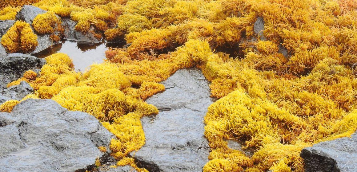 wet yellow seaweed on rocky shore